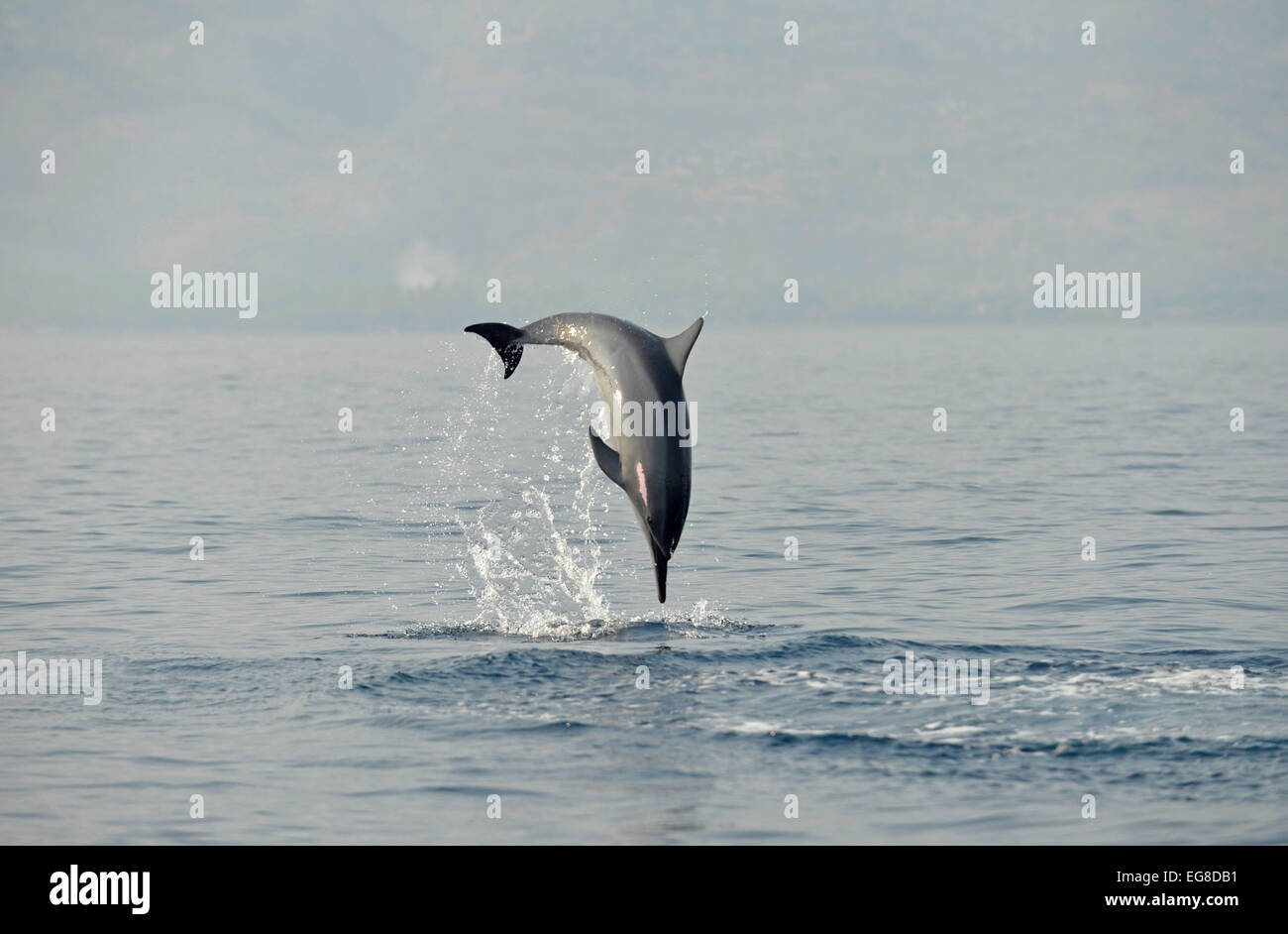 Spinner Dolphin (Stenella longirostris) leaping from the sea, Bali, Indonesia, October Stock Photo