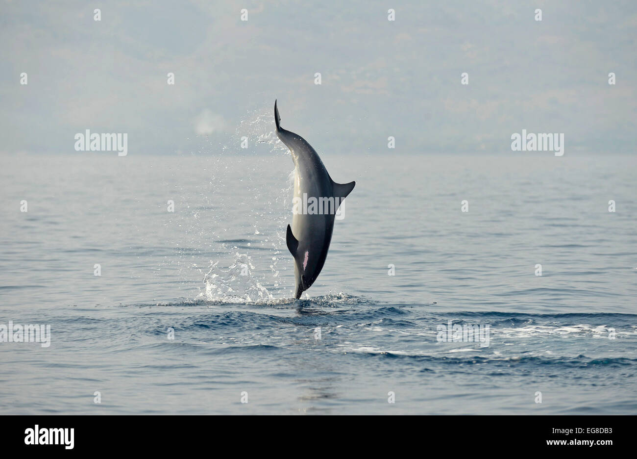 Spinner Dolphin (Stenella longirostris) leaping from the sea, Bali, Indonesia, October - Stock Image