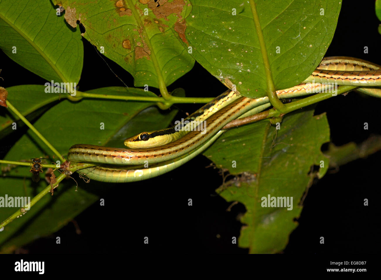 Bronzeback Snake (Dendralaphis pictus) resting on small branch at night, Bali, Indonesia, October - Stock Image