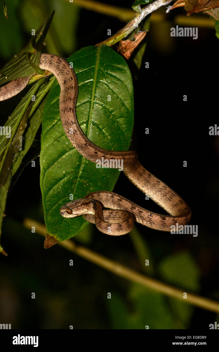 Slug Snake (Pareas sp.) resting on small branch at night, Bali, Indonesia, October - Stock Image