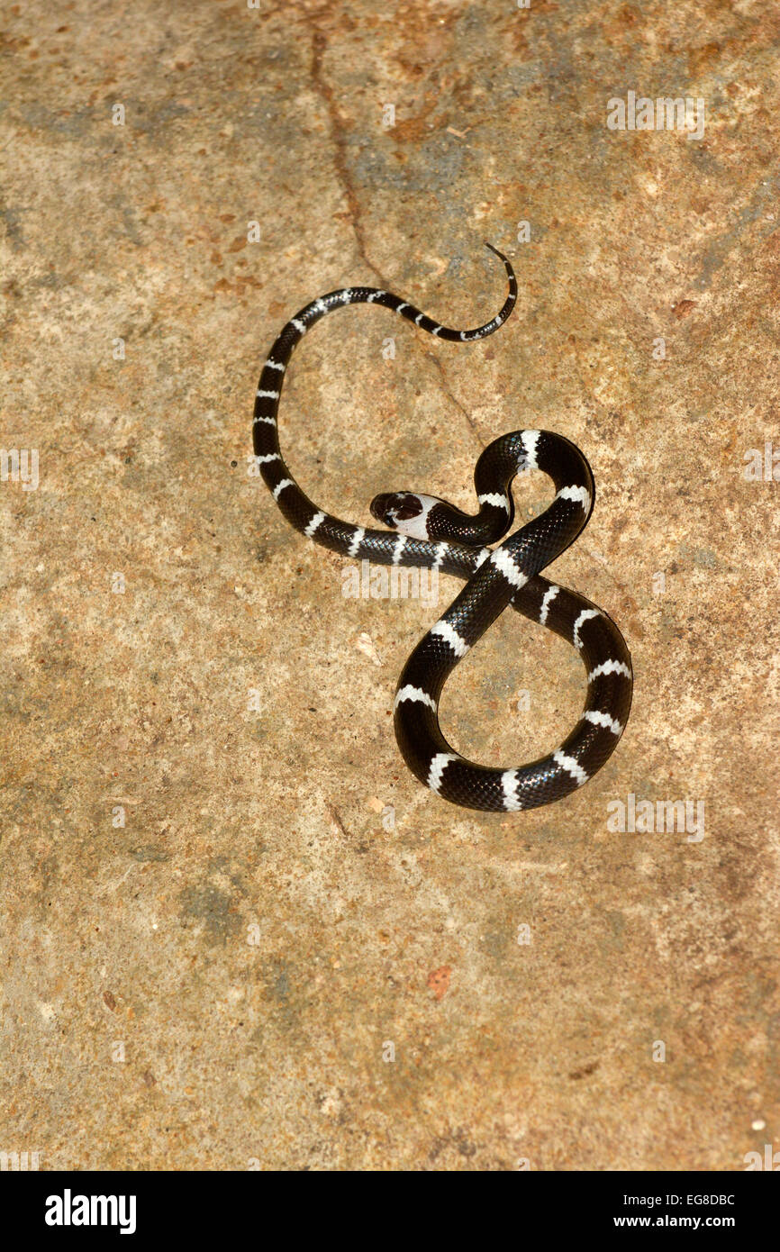 Malayan Banded Wolf Snake (Lycodon subcinctus) resting on rock, Bali, Indonesia, October - Stock Image