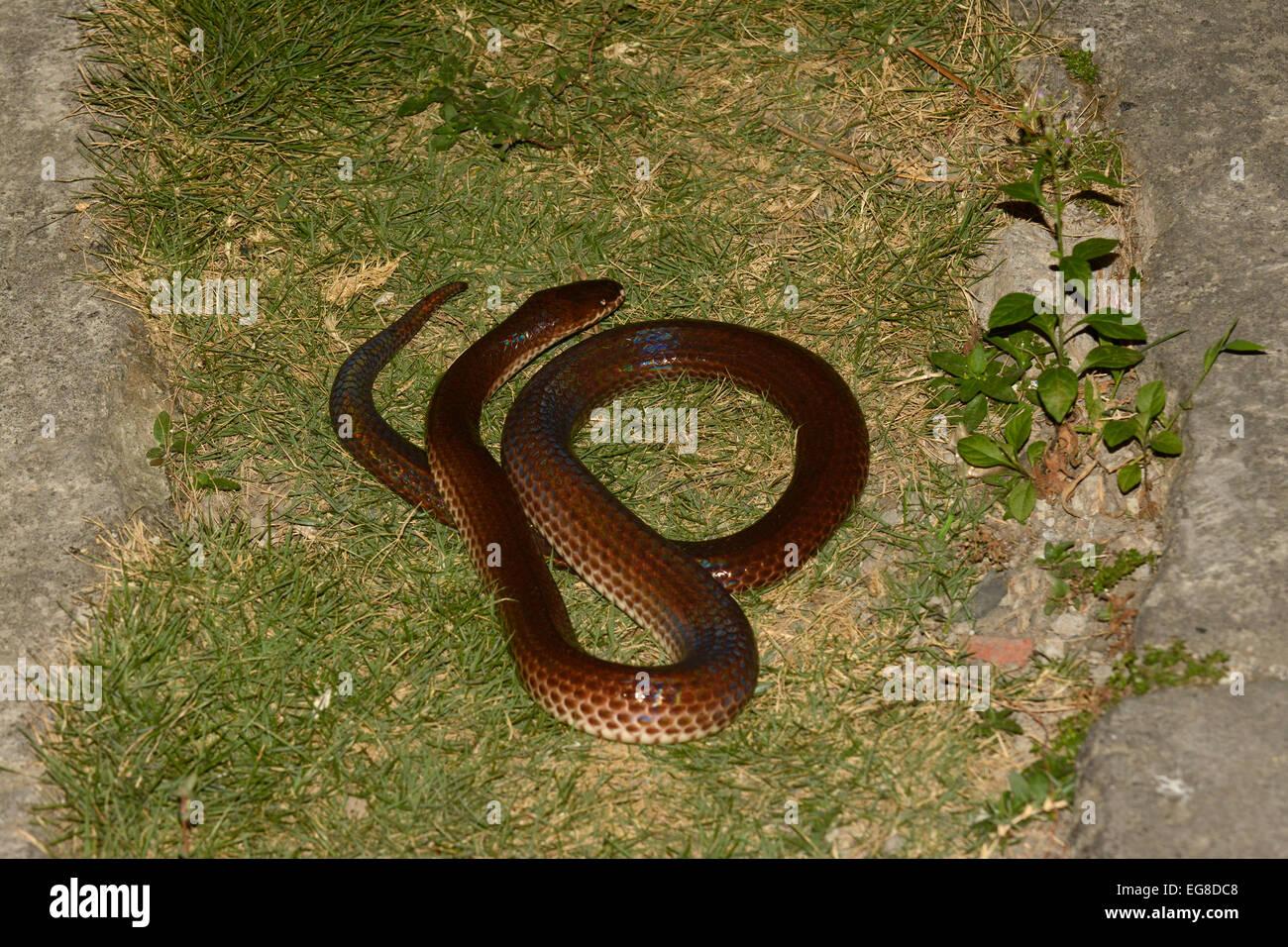 Sunbeam Snake (Xenopeltis unicolor) Bali, Indonesia, captive - Stock Image