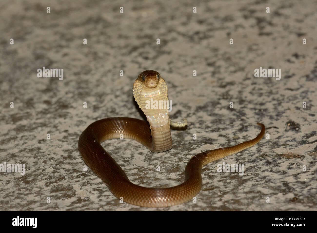 Javan Spitting Cobra (Naja sputatrix) juvenile, deadly venomous, Bali, Indonesia, October - Stock Image
