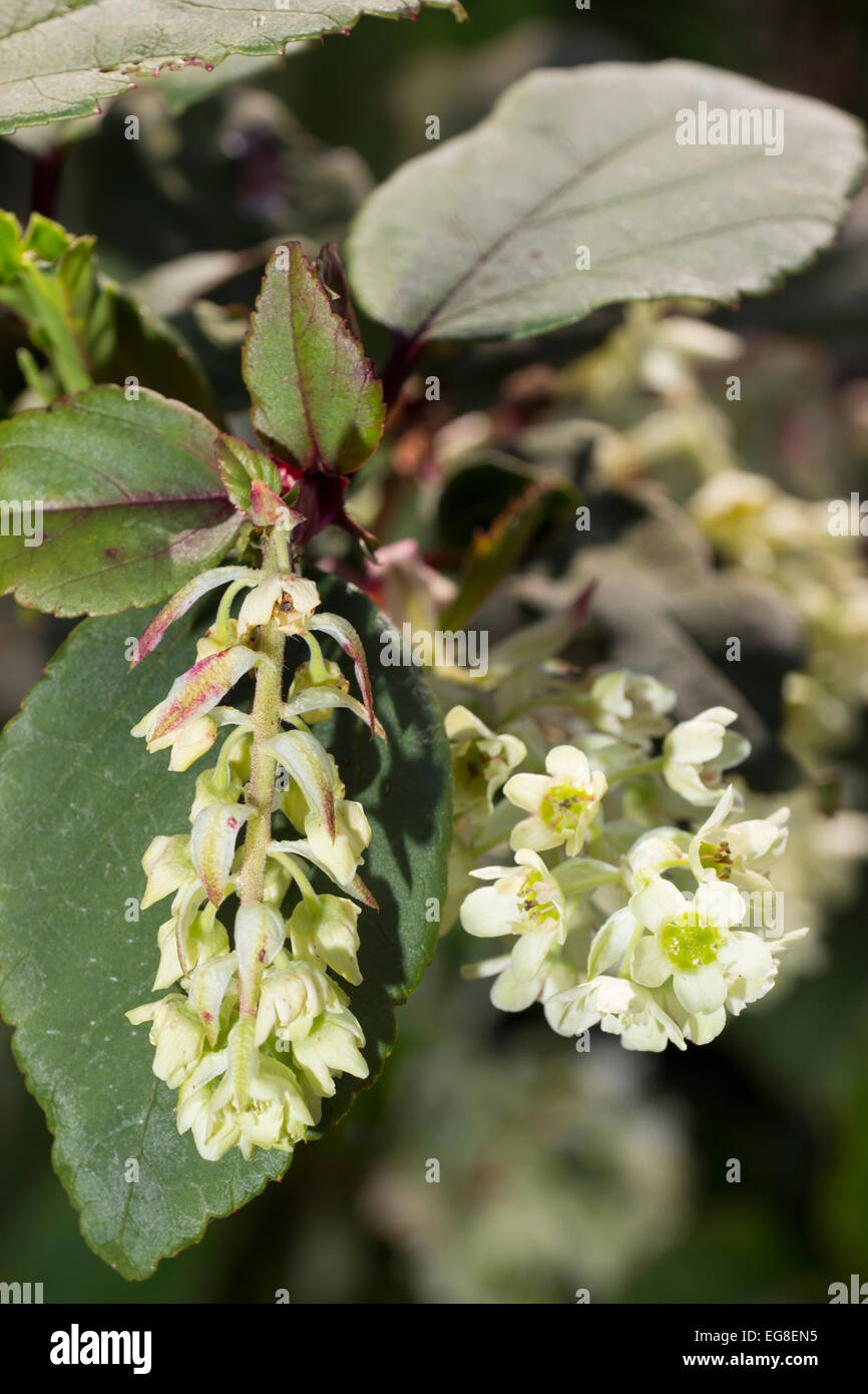 Late winter flowers of the laurel leaved currant, Ribes laurifolium. - Stock Image
