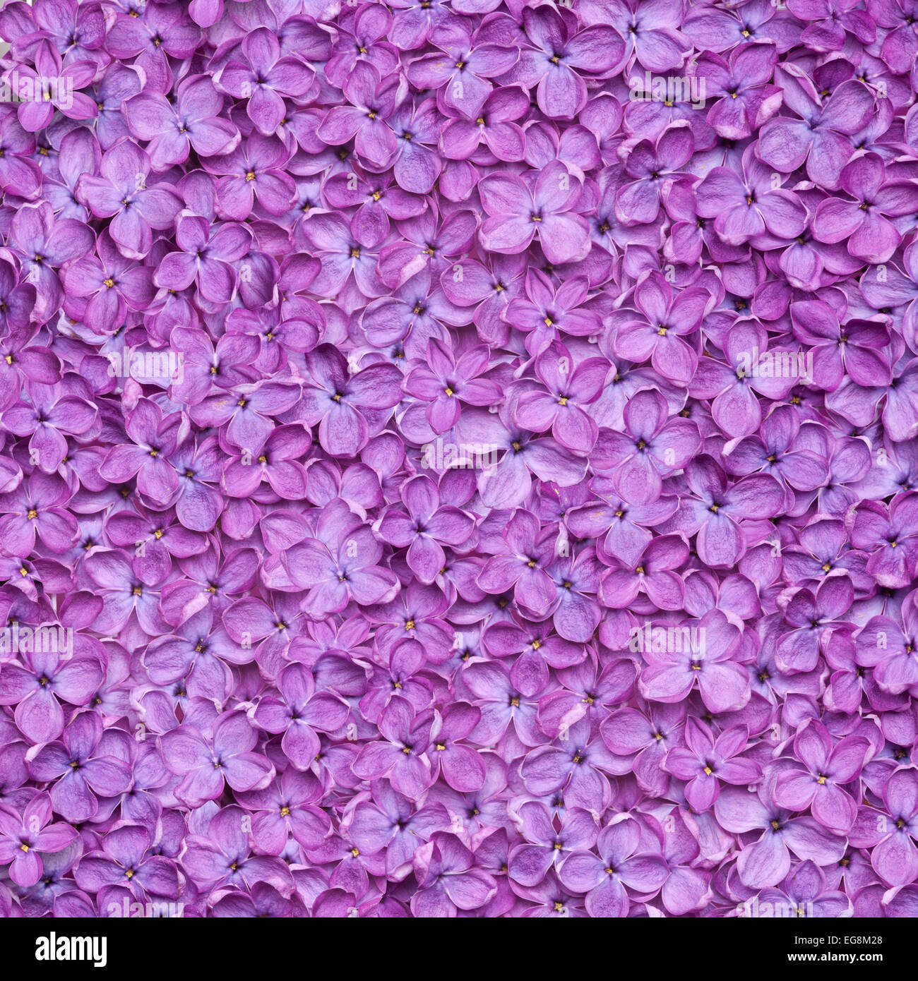 lilac background or beautiful violet flower texture - Stock Image