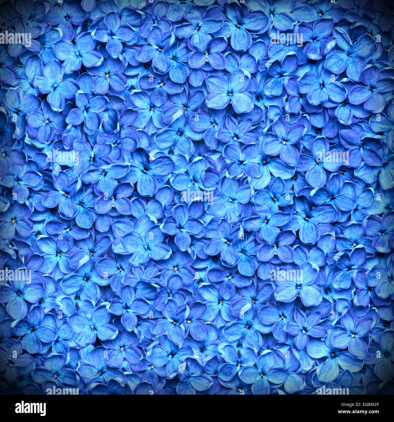 lilac background or beautiful blue flower texture - Stock Image