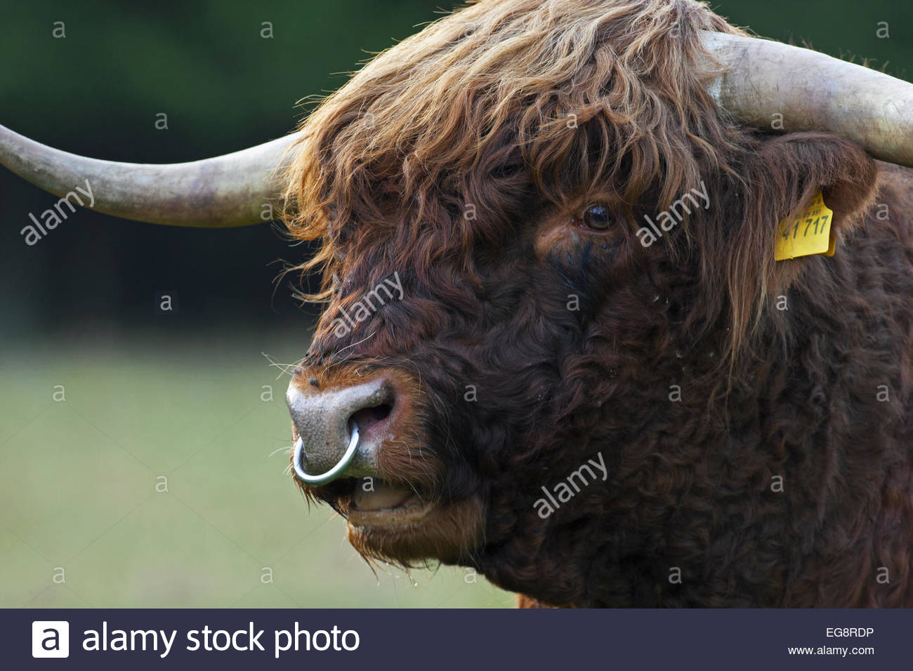 Highland Cattle Bos Taurus Close Up Of Bull Wearing Nose Ring