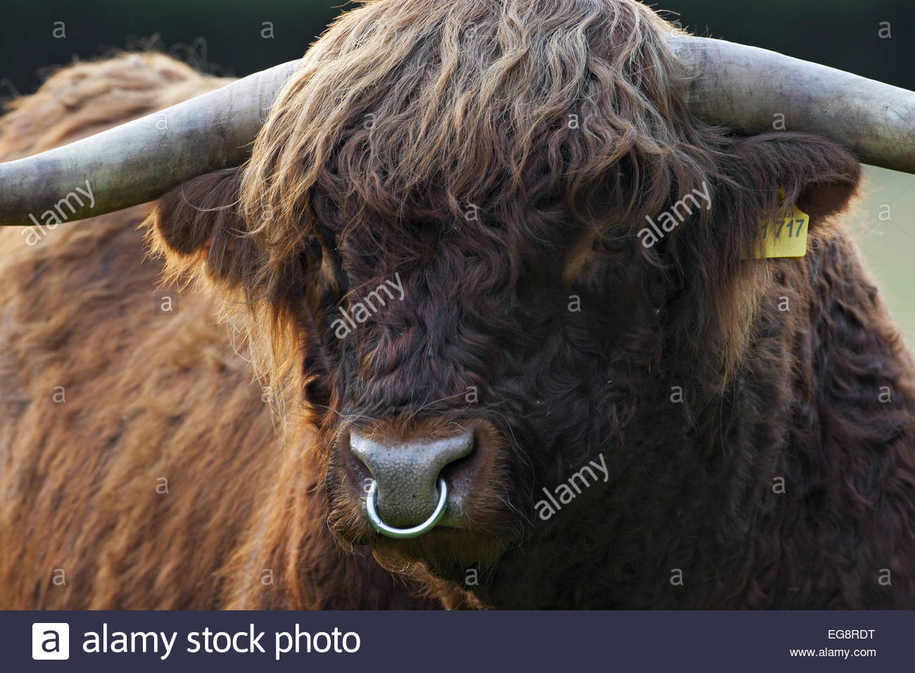 Bull Cow Head Nose Ring Stock Photos Bull Cow Head Nose Ring Stock