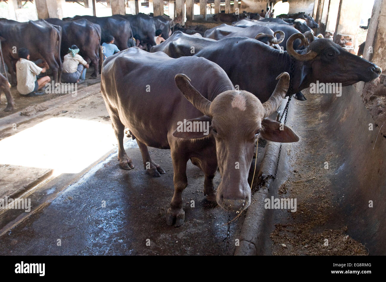 Aarey Milk Colony is a conglomeration of private buffalo dairy farms situated in Goregaon a suburb of Mumbai.Stock Photo