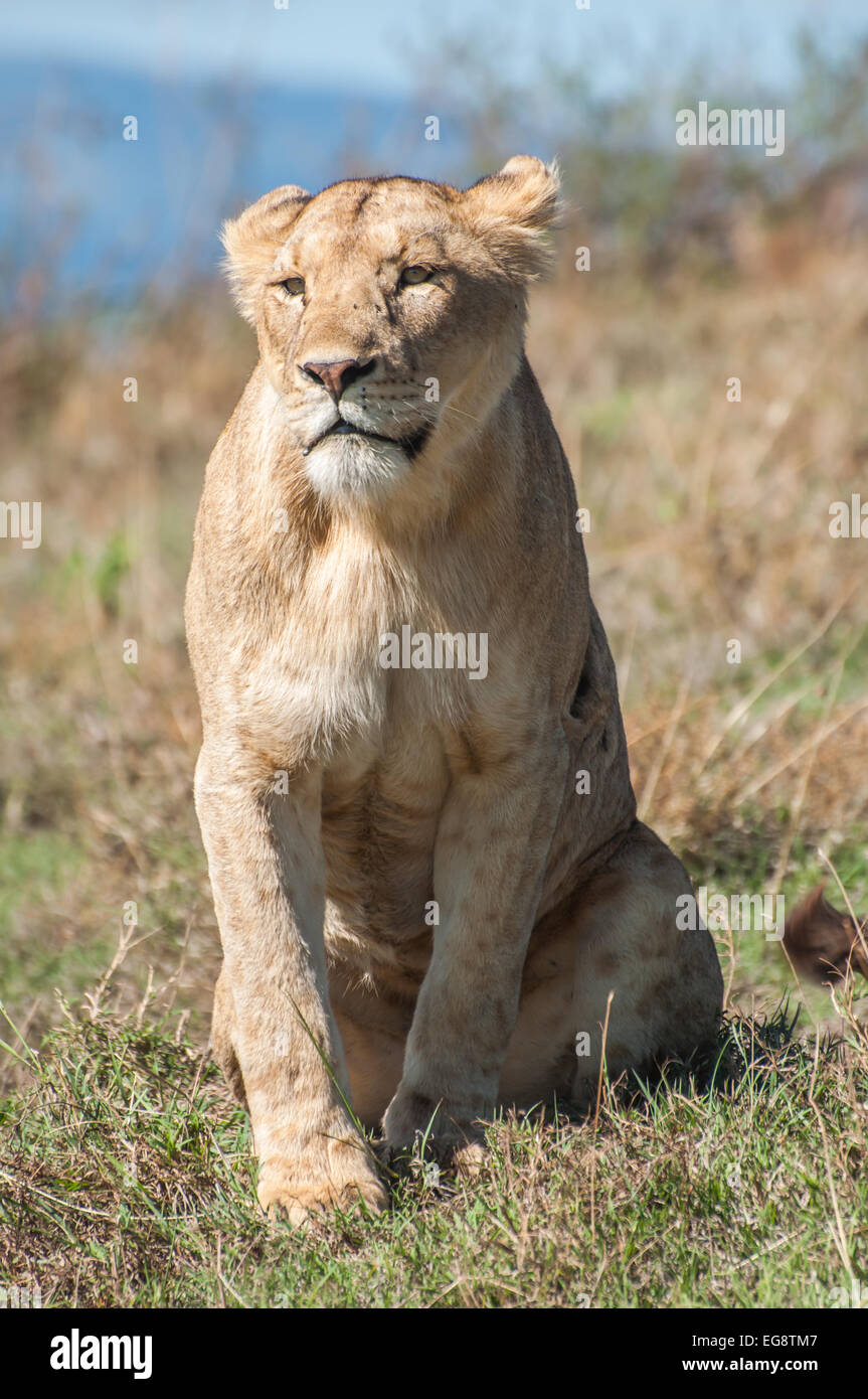 Lioness sitting up straight in the grassland of the Ngorongoro Crater while staring tentatively. - Stock Image