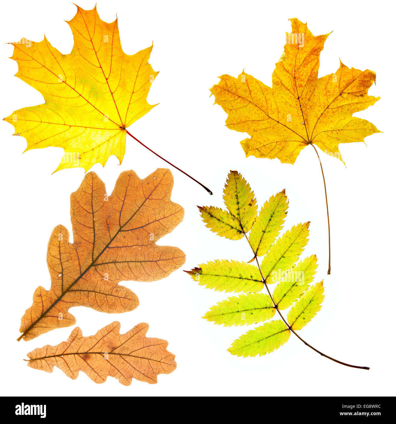 Dry fallen leaves isolated over whte background Stock Photo