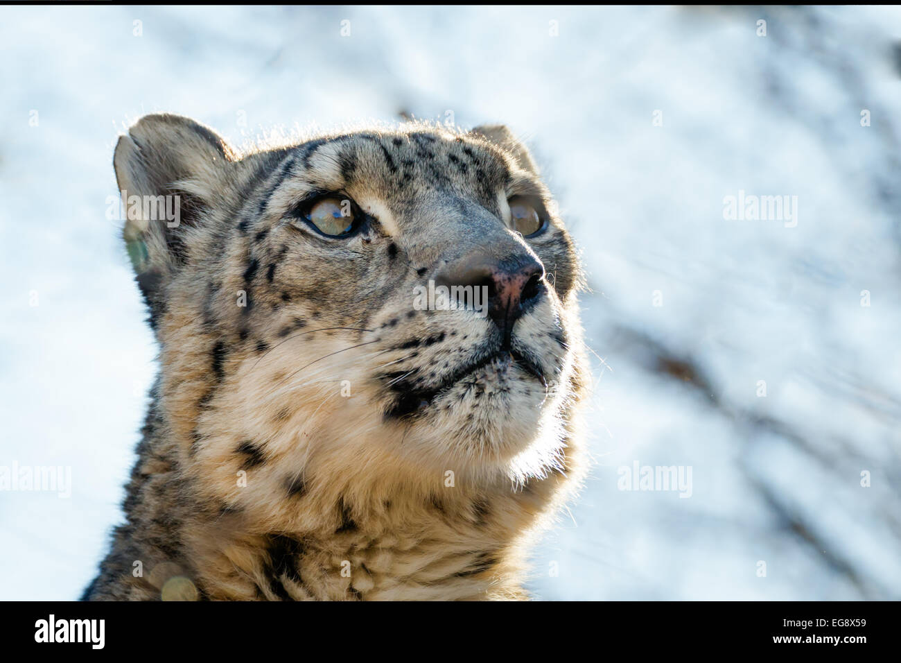 A snow leopard poses menacingly for a portrait in the Oklahoma City Zoo - Stock Image