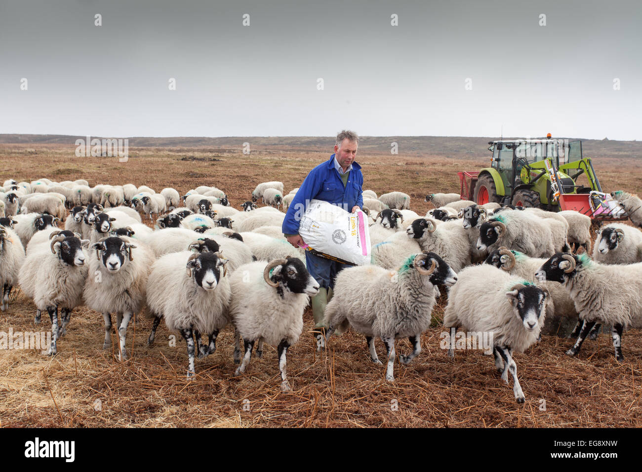 Farmer with green tractor feeding Swaledale sheep with supplementary sack of cob feed Goathland North Yorkshire - Stock Image