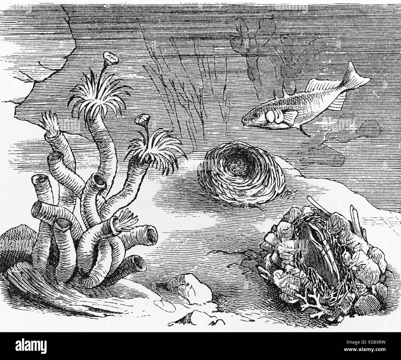 Vintage 19th century drawing of a underwater tube worm and shell nest Stock Photo
