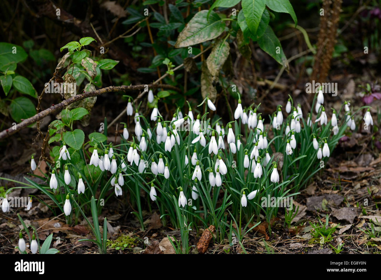 Galanthus cicely hall white flowers green markings flower bulbs galanthus cicely hall white flowers green markings flower bulbs snowdrops spring flowering clump clumps rm floral mightylinksfo