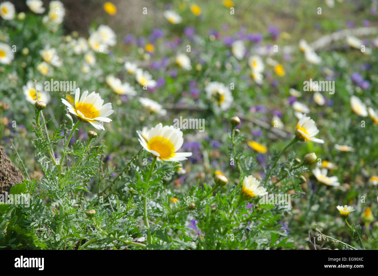 Wild flowers crown daisy growing in meadows in lanzarote canary wild flowers crown daisy growing in meadows in lanzarote canary islands izmirmasajfo