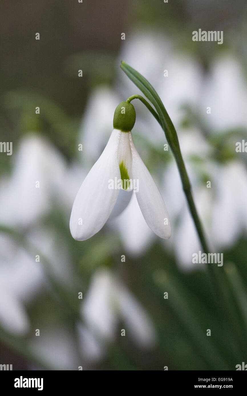 Galanthus 'Atkinsii'. Species snowdrop growing on the edge of a woodland garden. - Stock Image