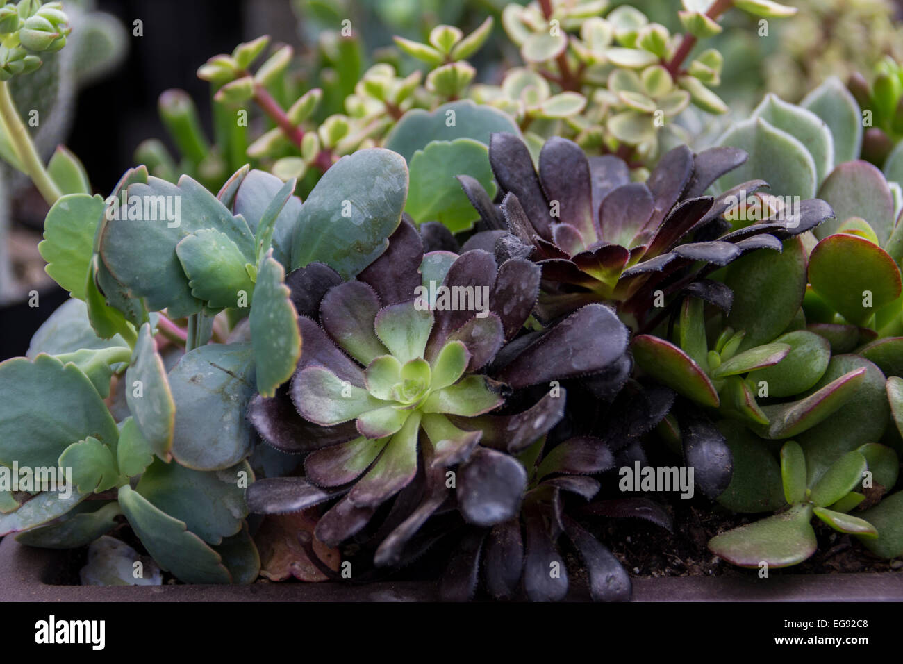 Clusters of lush thriving succulent plants. - Stock Image