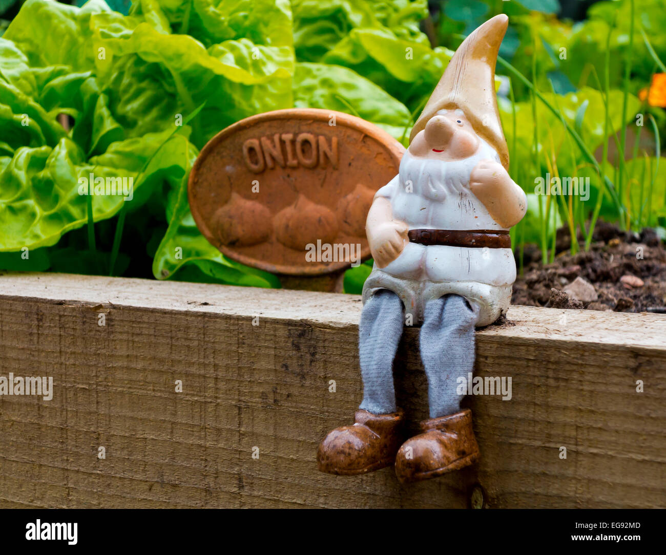 Garden Gnome Sitting On Wooden Plank With Raised Vegetable Beds Containing  Lettuce And Onions Growing Behind