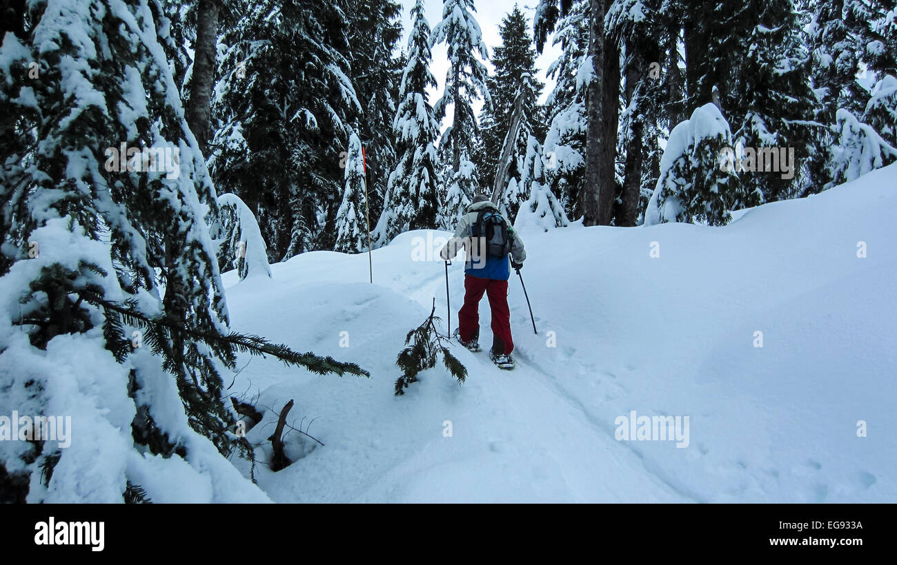 Man snowshoeing on a snowy trail amid towering snowy evergreen trees. - Stock Image