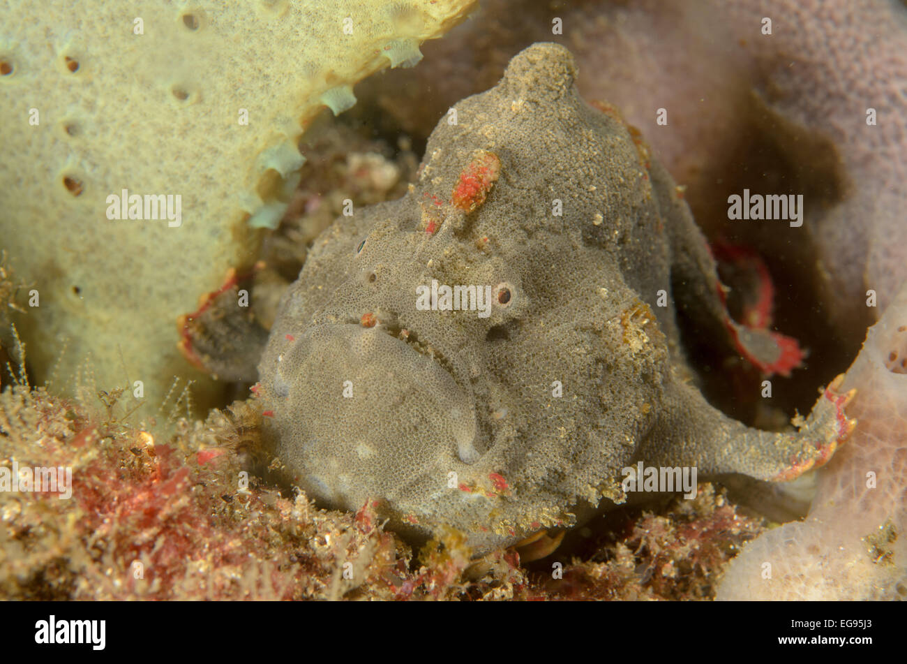 Red-fingered anglerfish, Porophryne erythrodactylus, at Kurnell, New South Wales, Australia. Stock Photo
