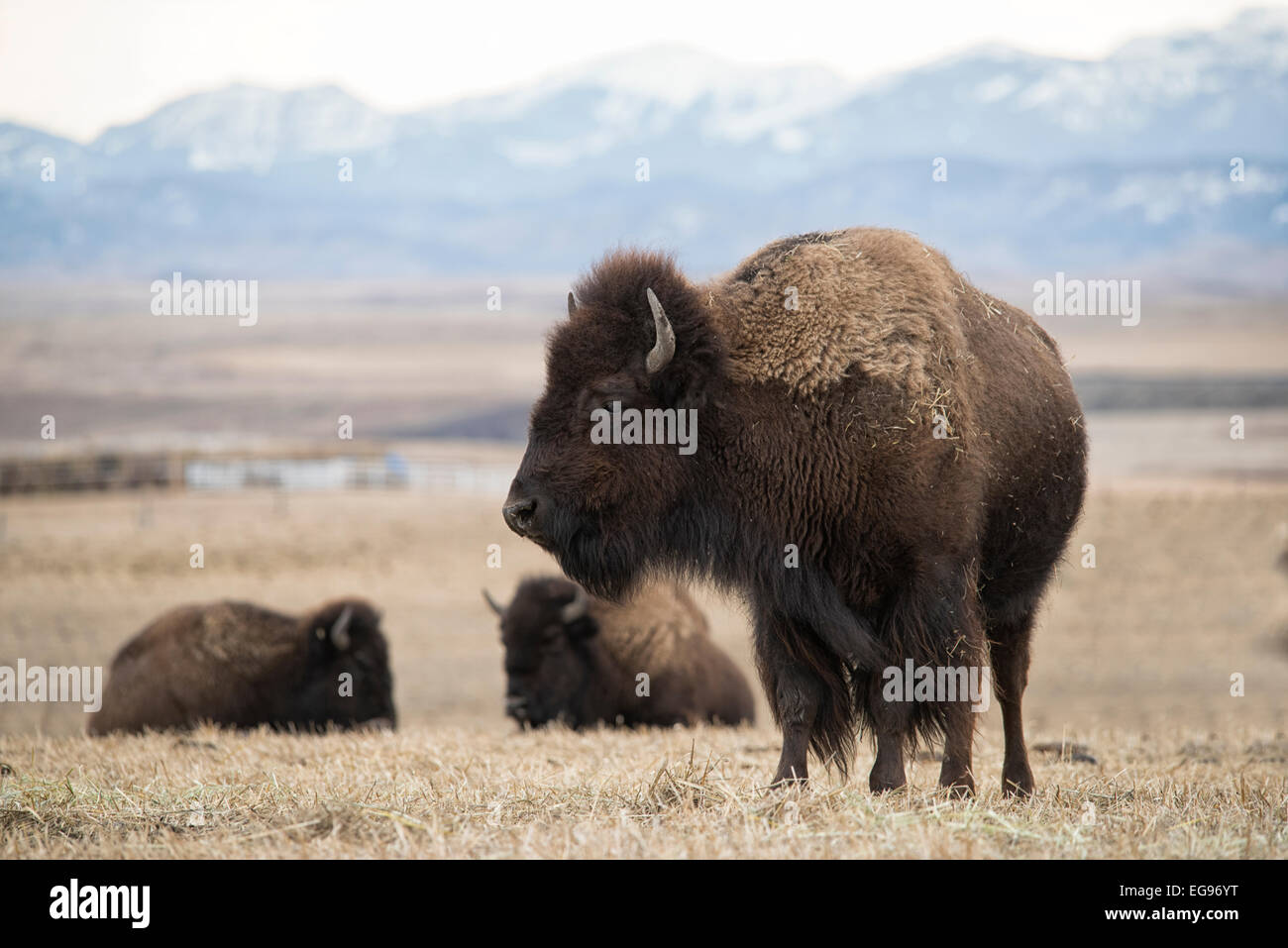A Large female bison standing in a field with two other bison in background. - Stock Image