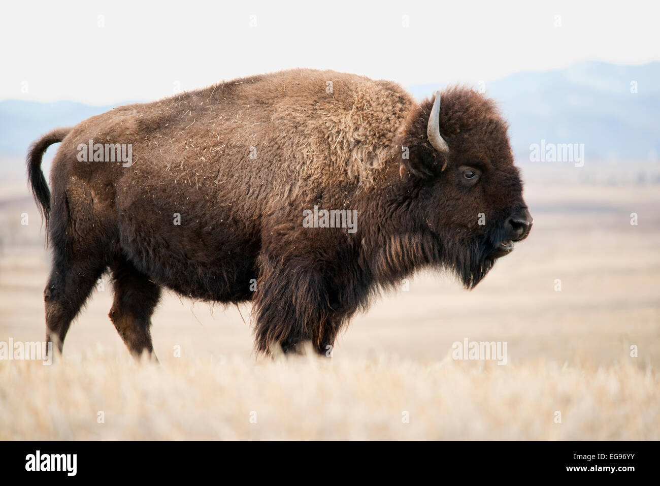 A large female bison standing in a field. - Stock Image