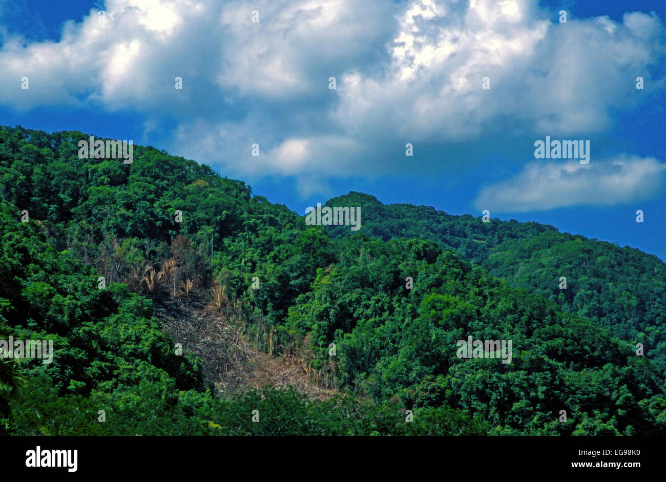 Shifting cultivation on a steep slope. This field was recently converted from tropical rainforest to agricultural - Stock Image