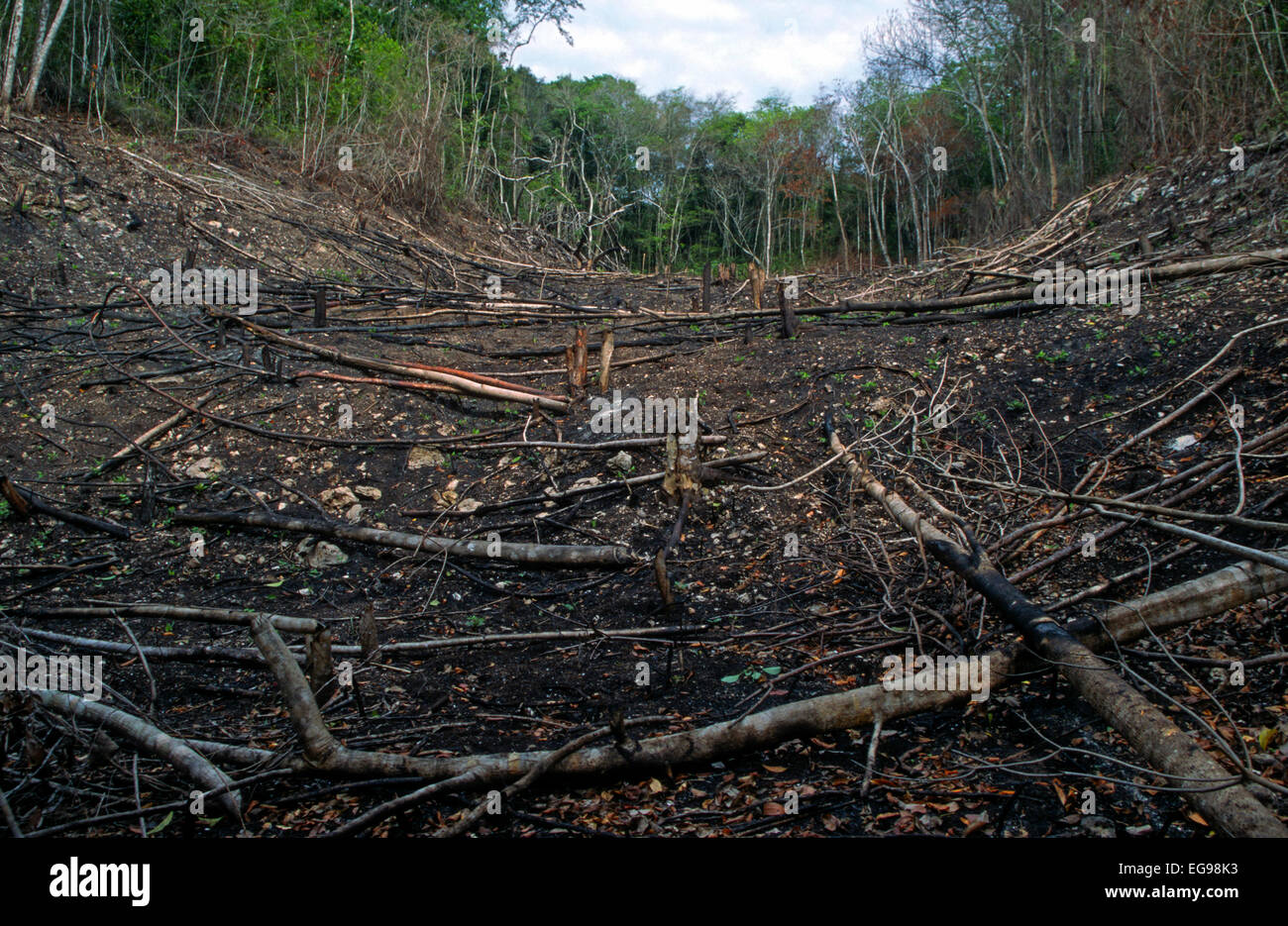 Shifting cultivation (slash and burn) field recently converted from tropical rain forest to agricultural land for - Stock Image