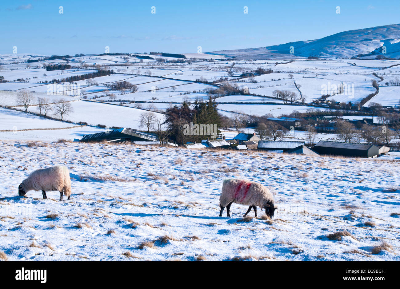 Sheep grazing in snow on high moorland pasture on the Northern fells near Caldbeck, Lake District, Cumbria, England - Stock Image