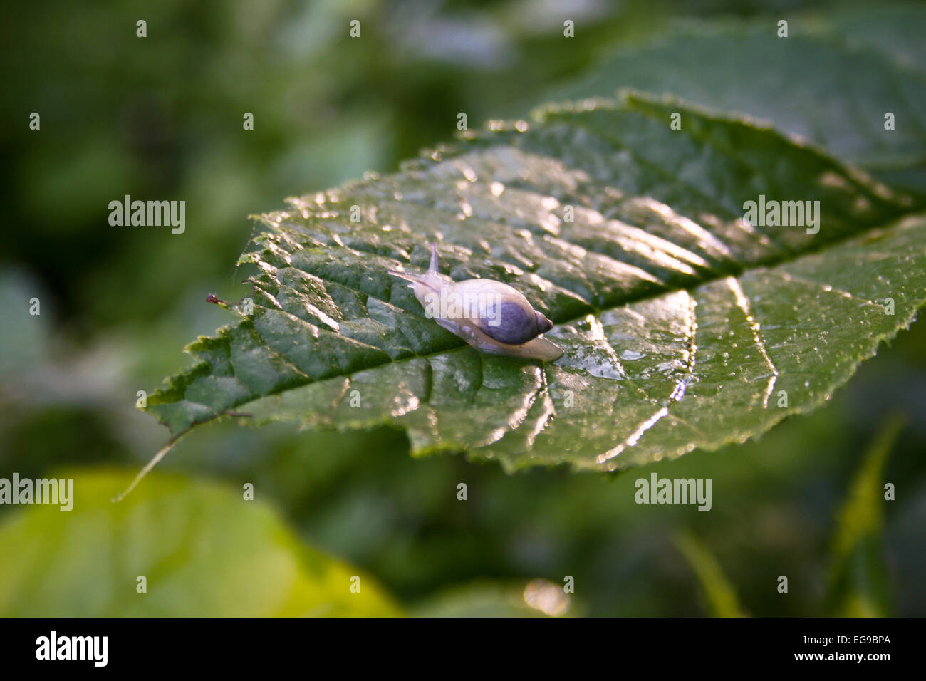 Wood snail on tree sheet - Stock Image
