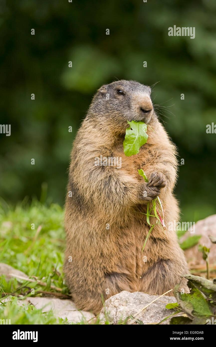 Alpine Marmot (Marmota marmota) in the National Park Hohe Tauern, Alps, Austria, Europe - Stock Image
