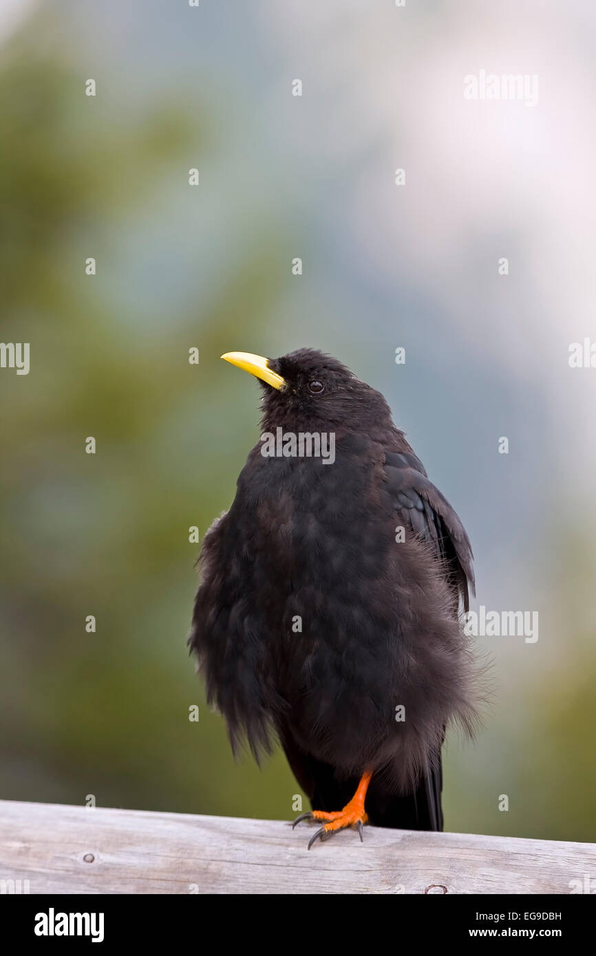 Alpine Chough (Pyrrhocorax graculus), Alps, am Koenigssee, Upper Bavaria, Bavaria, Germany, Europe Stock Photo