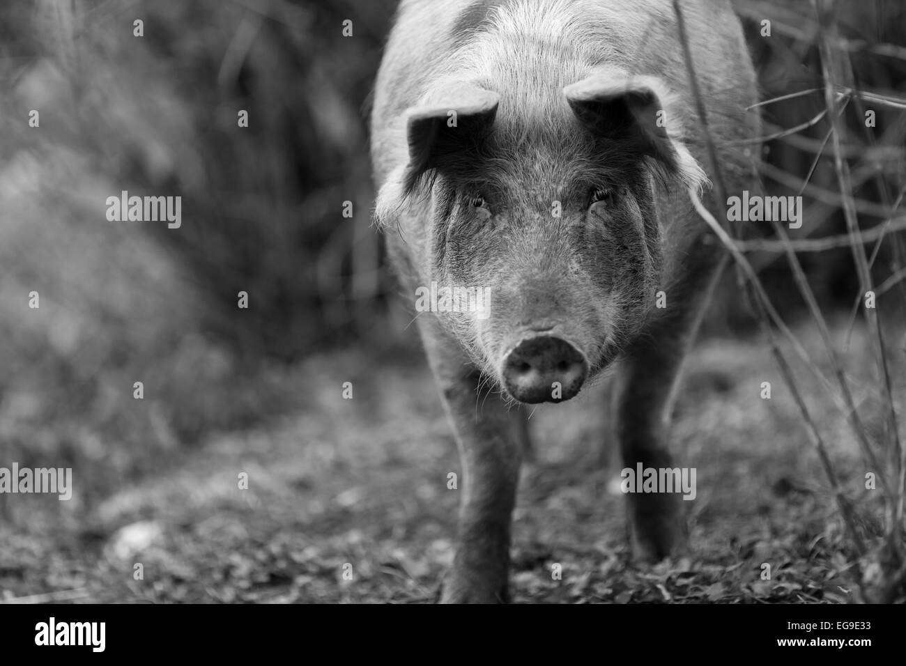 Black and white photo of a pig, staring at the camera - Stock Image