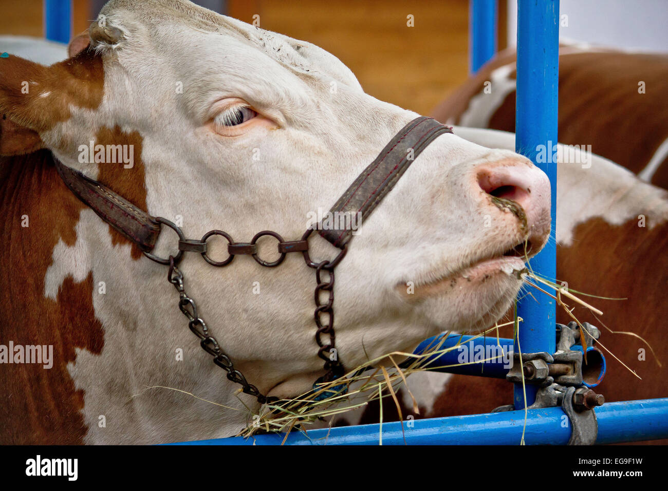 Simmental bull portrait in barn, animal farm - Stock Image