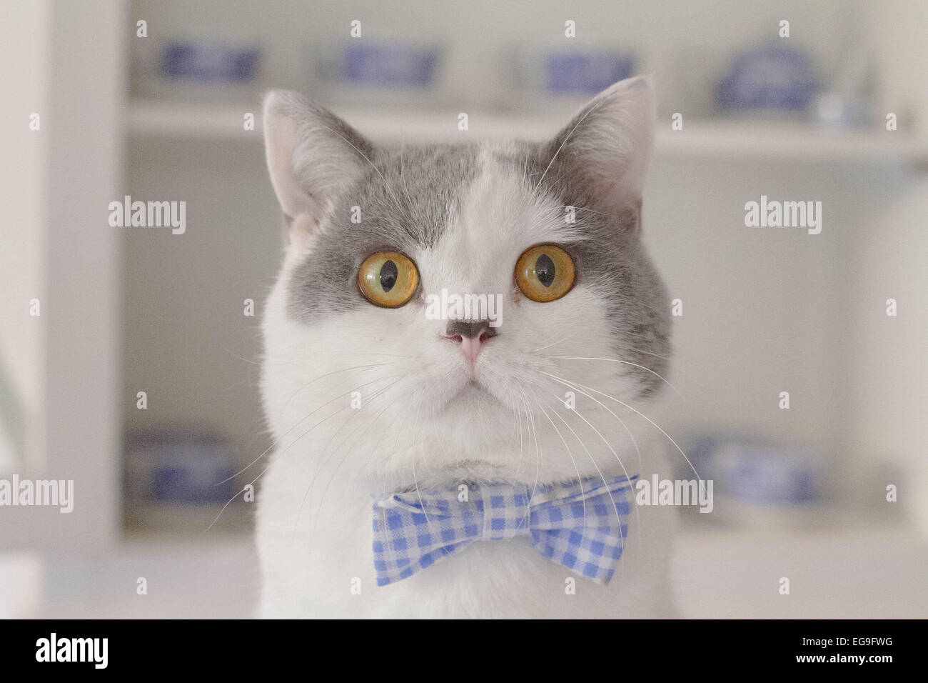 Portrait of cat wearing bow tie - Stock Image