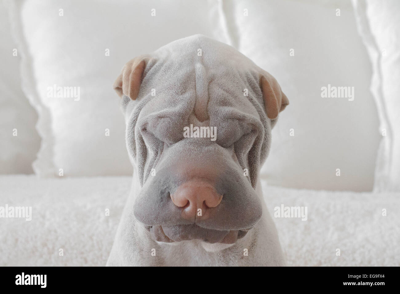 Portrait of shar-pei dog at home - Stock Image