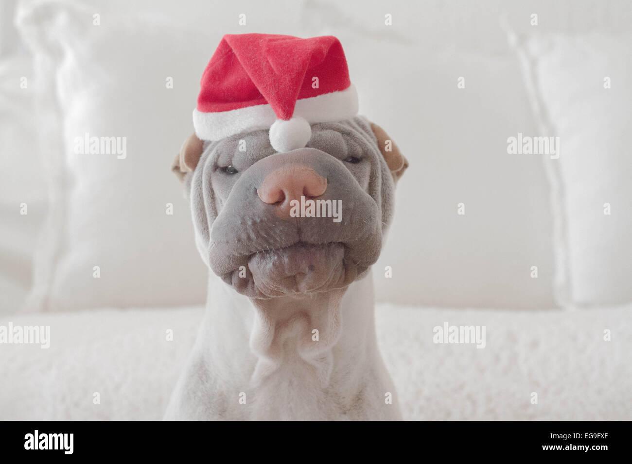 Portrait of shar-pei dog wearing christmas hat - Stock Image