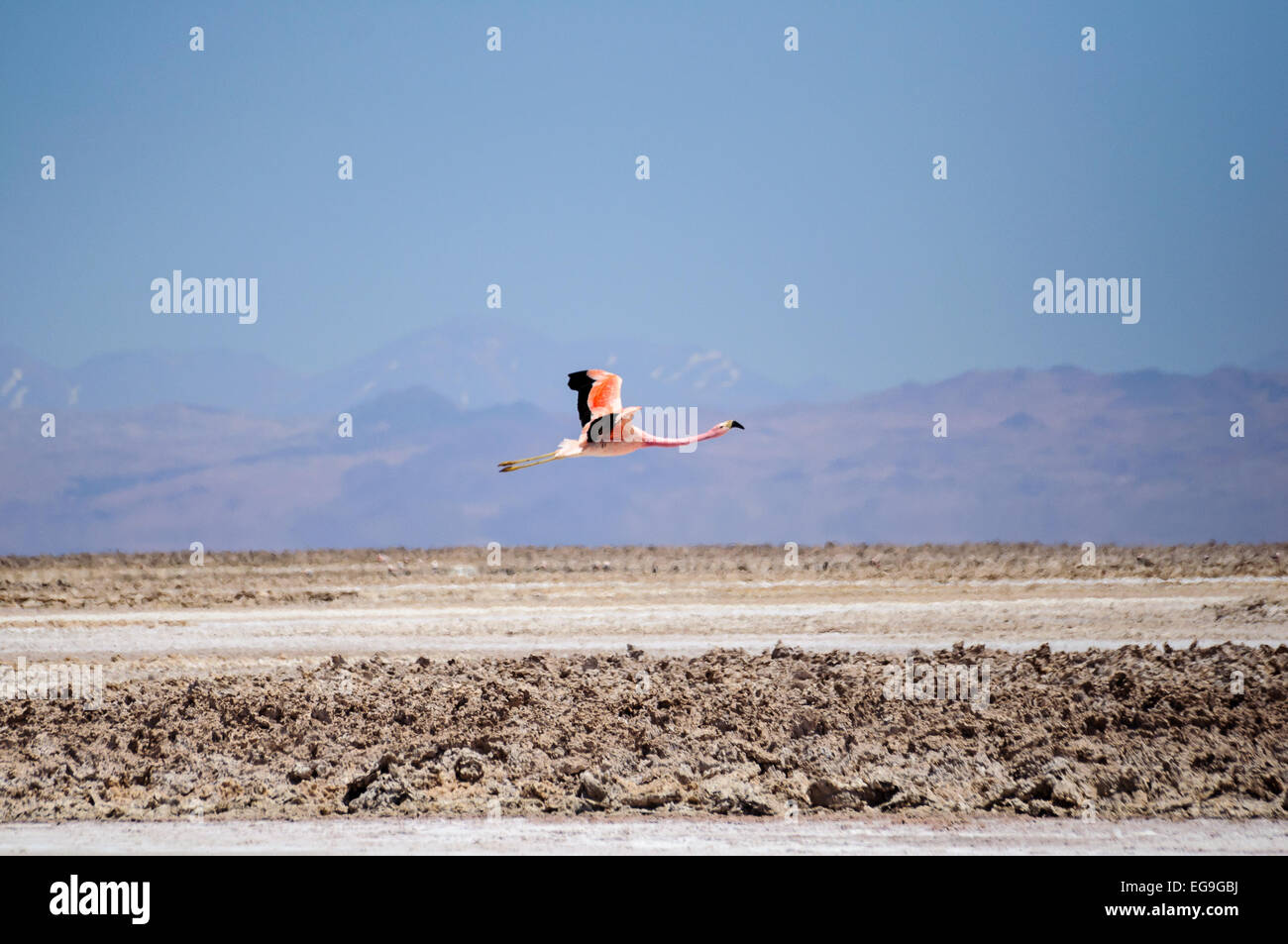 Chile, San Pedro de Atacama, Flamingo flying over desert - Stock Image