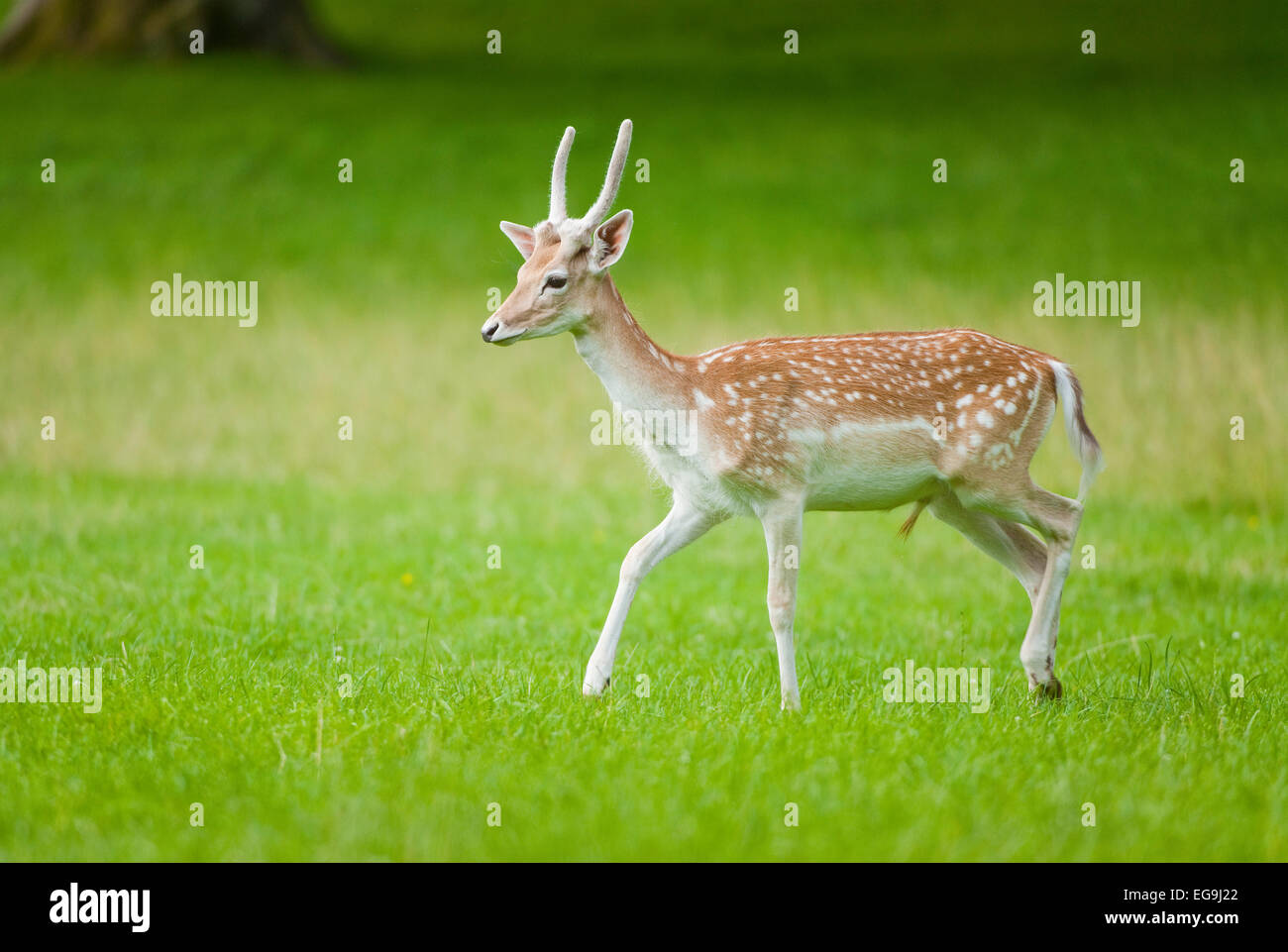Fallow Deer (Dama dama), young buck with spike, velvet antlers, running on a meadow, captive, Bavaria, Germany - Stock Image