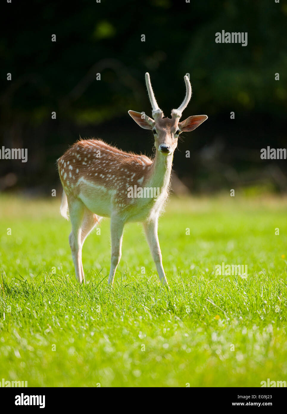Fallow Deer (Dama dama), young buck with spike, with velvet antlers, standing on a meadow, captive, Bavaria, Germany - Stock Image