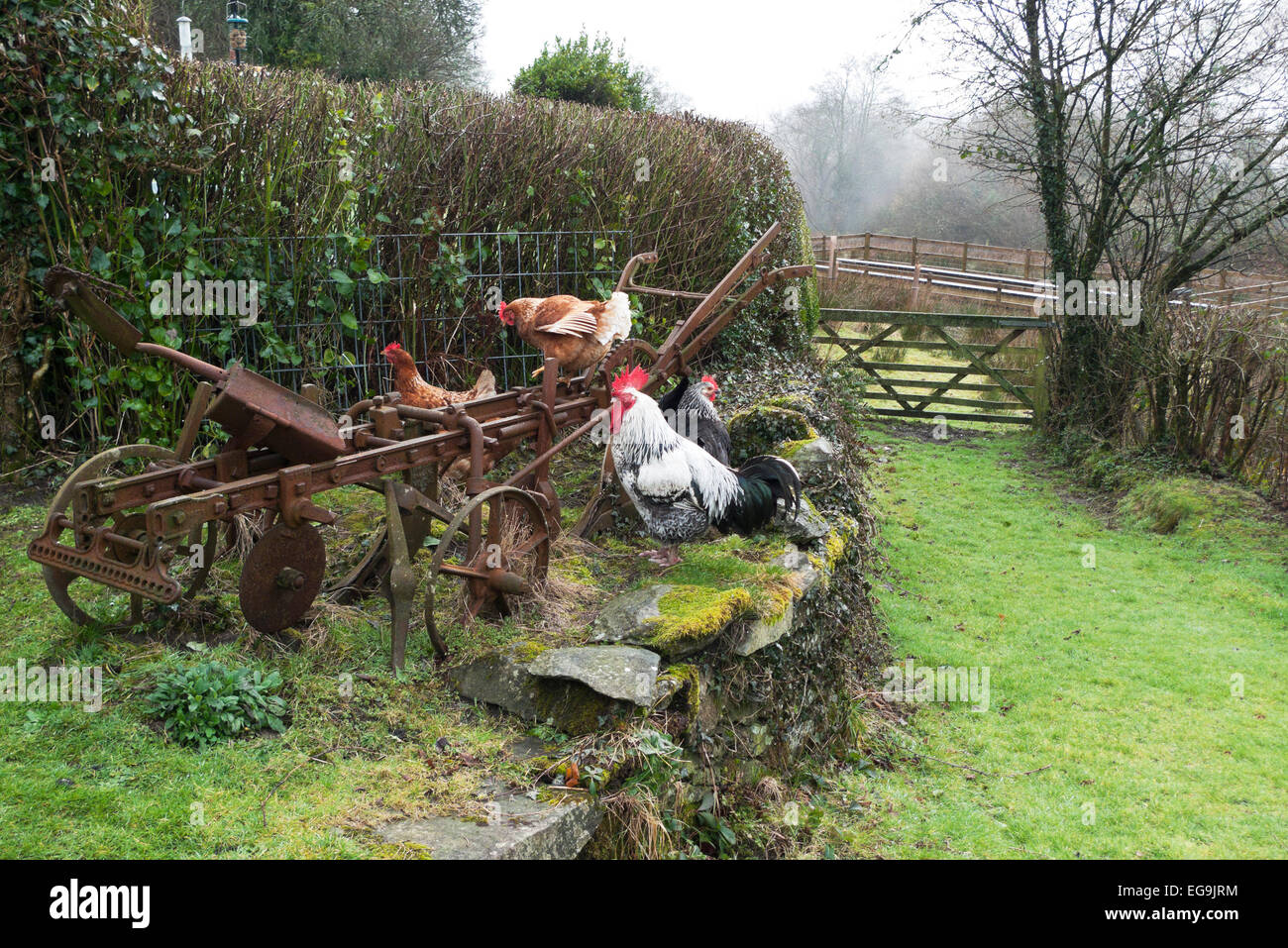 Free range chickens hens with cockerel rooster perch on an old rusty in a smallholding rural garden by a gate in - Stock Image
