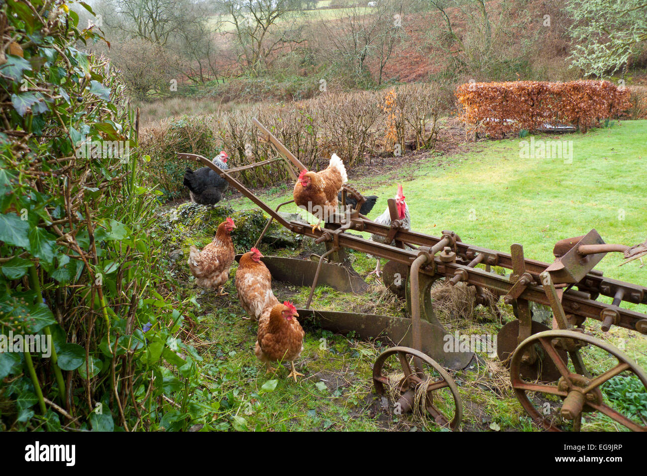 Free range hens perch on an old rusty in a smallholding rural garden in Carmarthenshire, West Wales UK  KATHY DEWITT - Stock Image