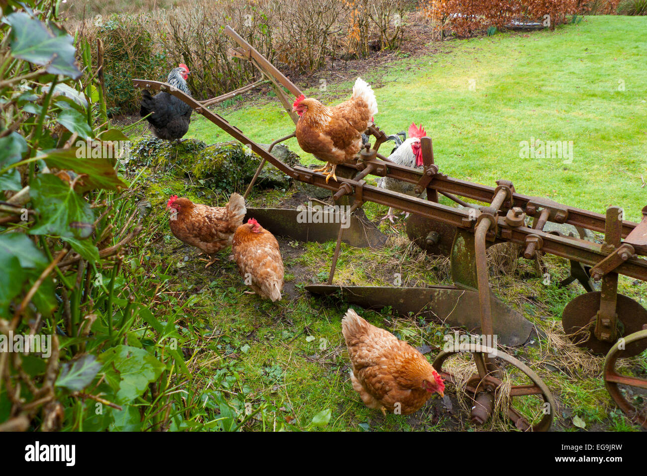 Free range chickens hens with cockerel rooster perch on an old rusty in a smallholding rural garden in Carmarthenshire, - Stock Image