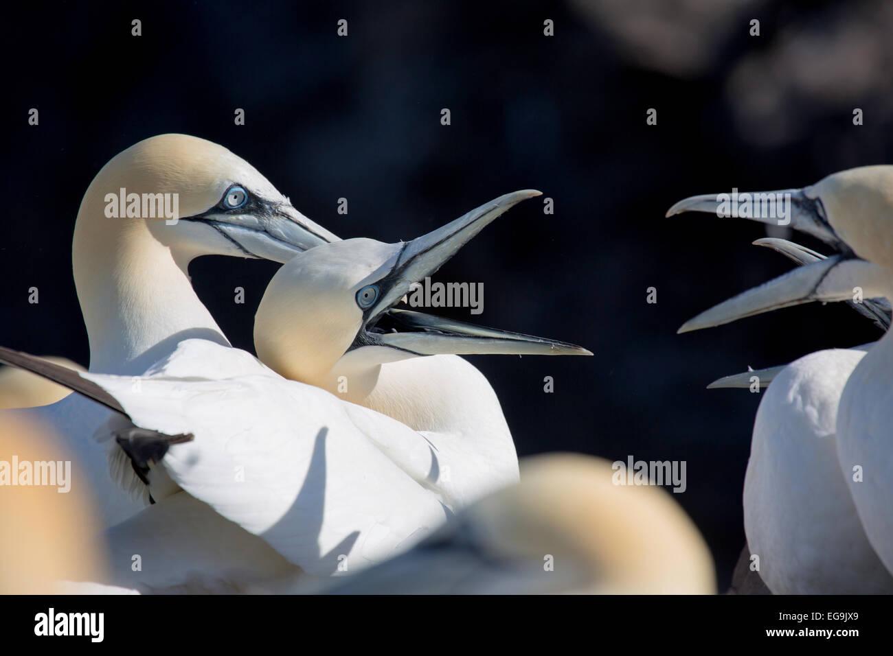 Northern gannet. Bass Rock, Scotland, UK - Stock Image