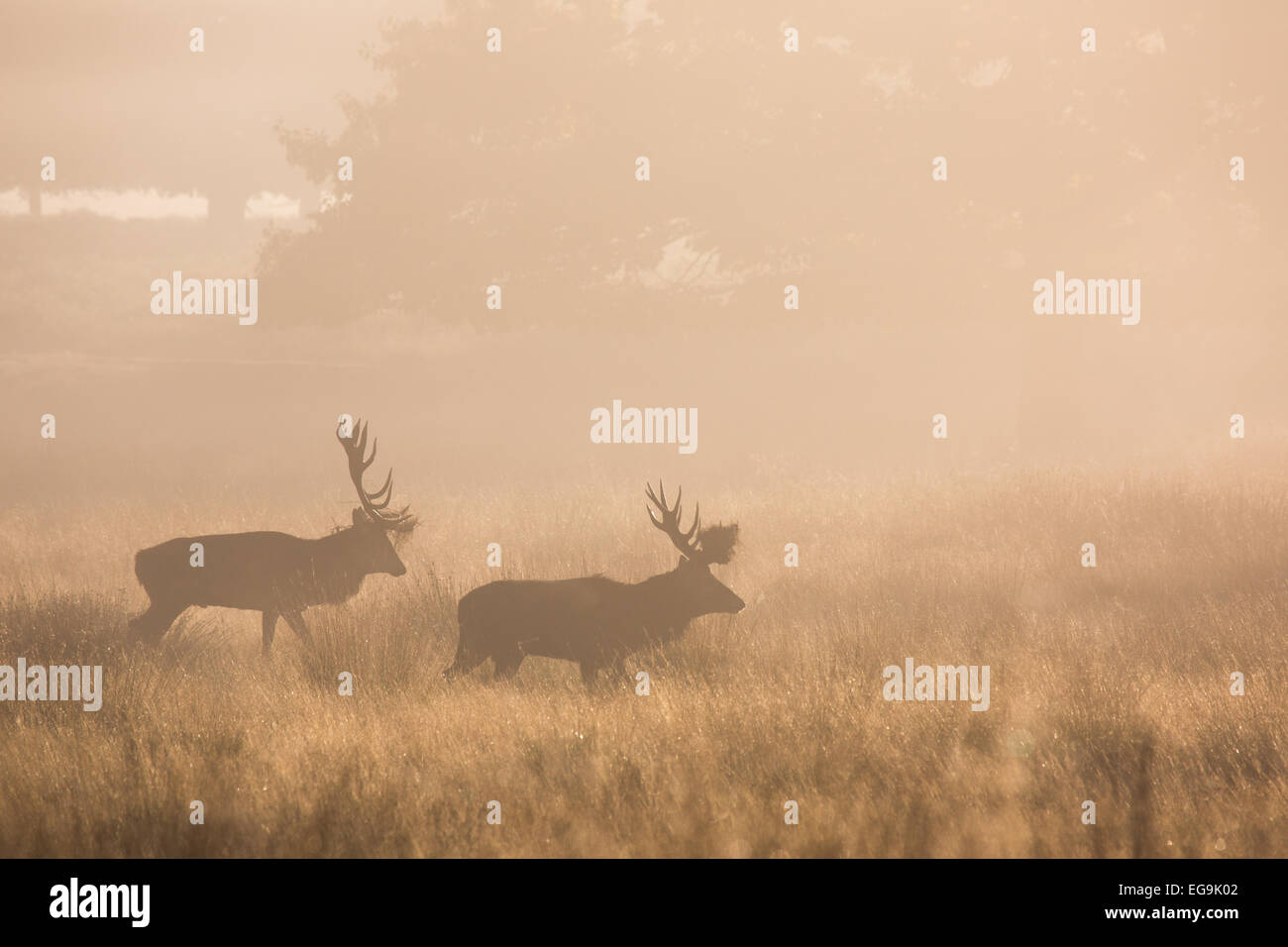 Red deer stags parallel walking to size each other up, during the red deer rut in Richmond Park London - Stock Image