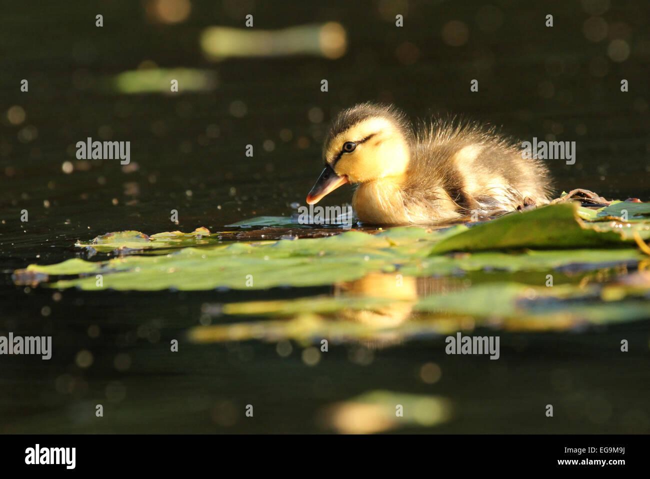 Mallard duckling. London UK - Stock Image