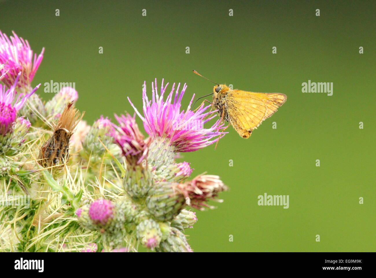 Butterfly. Richmond Park, London UK - Stock Image