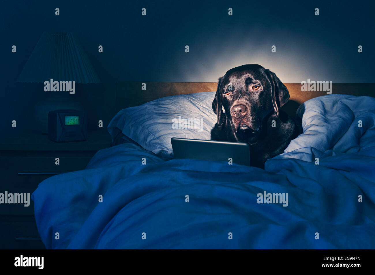 Labrador on Tablet Computer in Bed - Stock Image