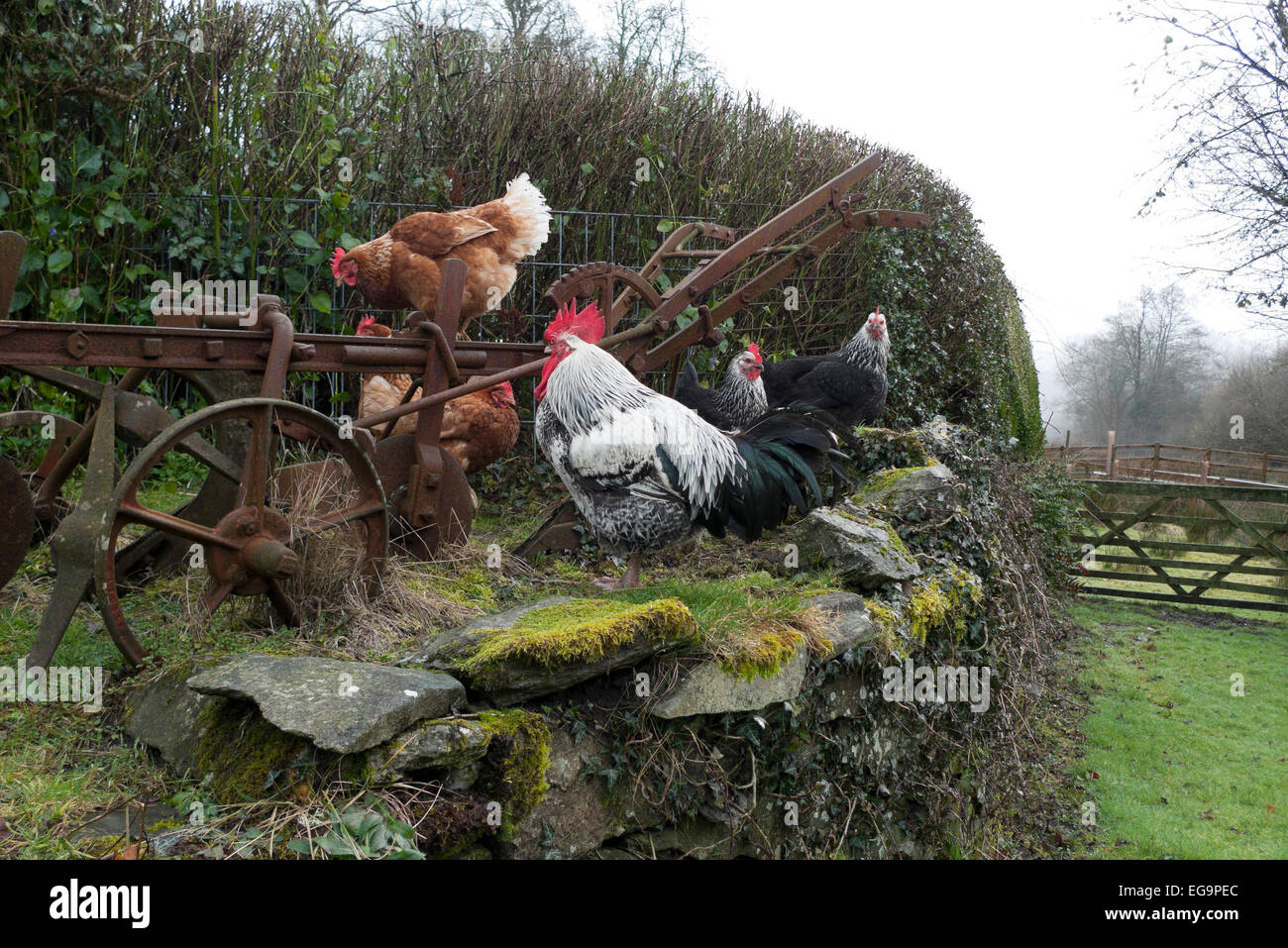 Carmarthenshire, Wales, UK. 20th February 2015.  Free range hens and cockerel sit on an old plough and stone wall - Stock Image